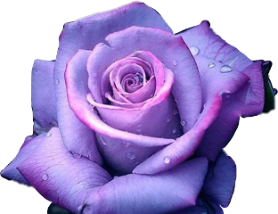 rose purple pretty raindrops freetoedit
