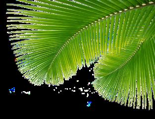 leaves plants tree palm freetoedit