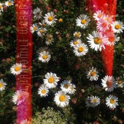 freetoedit summer sunnyday camomiles flowers