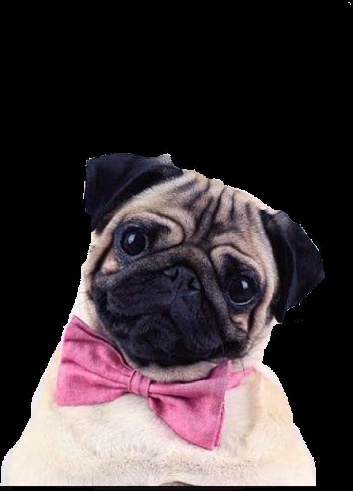 белый мопс в розовых очках фото для