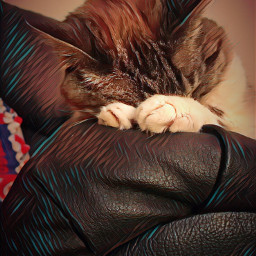 kitty kittysleeping cat siamese goodnight