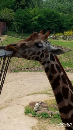 myphotography giraffe zoo unedited freetoedit