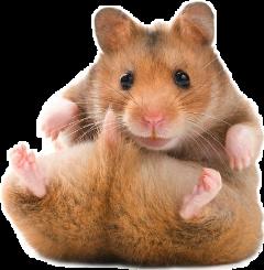 хомяк baby pets hamster хомячок