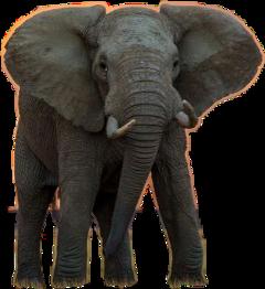 elephant animal freetoedit