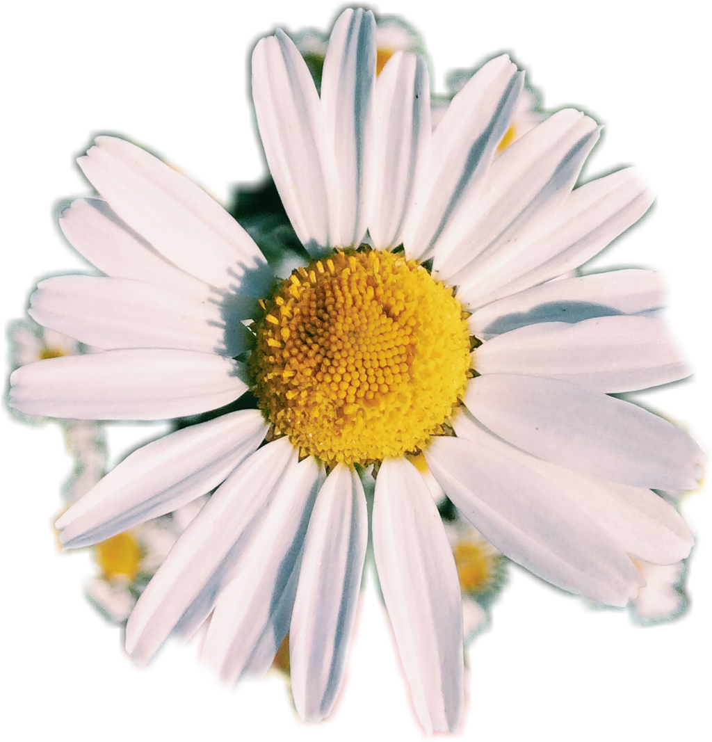 Photo Photography Daisy Af Aesthetic Flower White
