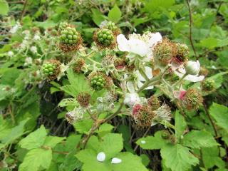 green blackberries freetoedit