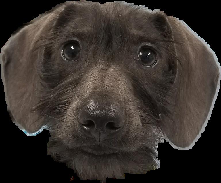 #dog #puppy #dachshund #IcarusAvis
