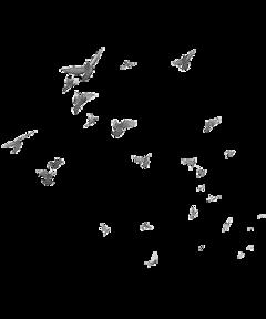 white birds pigeon freetoedit