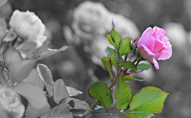freetoedit rose pink ambereffect flaremagiceffect