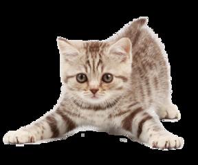 ftestickers kitten cat freetoedit