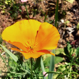 crispeffect californiapoppy orangeflowers beautiful summer