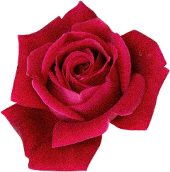 rose flower red plant