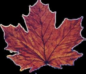 leaf maple leaves freetoedit