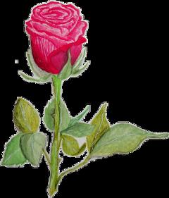 rose flowers flower drawing freetoedit