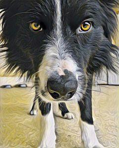 dog bordercollie picsart