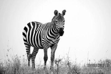 dpcblackandwhite zebra blackandwhite b animal
