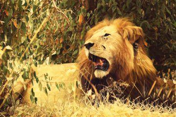 lion masaimara kenya africa wildlife freetoedit