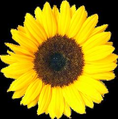 подсолнух  sunflower freetoedit
