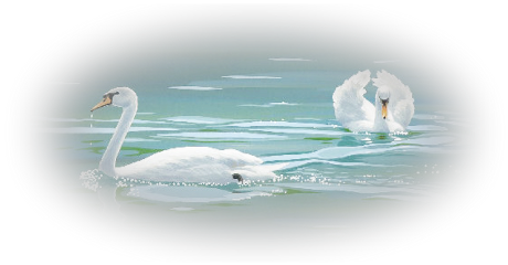 ftestickers water swans reflection freetoedit