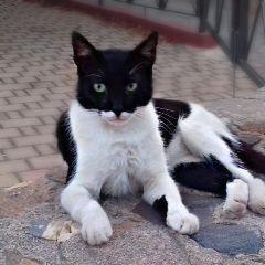 batcat batman catday cat pets freetoedit