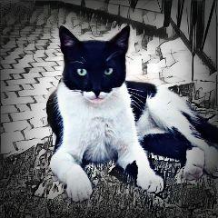 freetoedit catday cat pets batcat