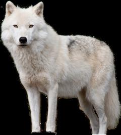 loup wolf freetoedit