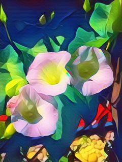 wildmagiceffect morningglories flowers carnivalmagiceffect freetoedit