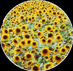 flowers sunflowers circle sticker freetoedit