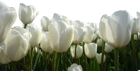 flower white tulips green plant