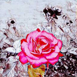 rose roses love lovelovelove loveyou
