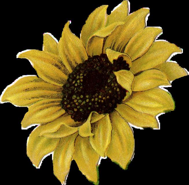 #vintagesunflower#freetoedit