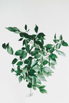 freetoedit leaves plant nature green