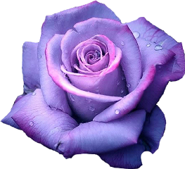 rose purple pretty freetoedit