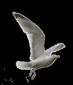 чайка  gull freetoedit