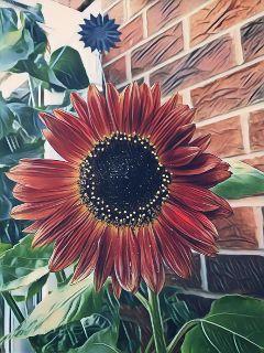 magiceffectbadlands dodgereffect sunflower mygarden