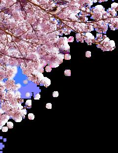 sakura freetoedit