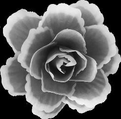flower flor blackandwhite freetoedit