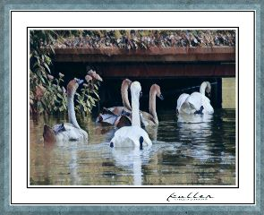 swan family likeapainting magiceffects birds
