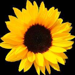 sun sunflower flower yellow sunflowerphotography
