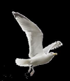 freetoedit ftestickers bird seagull