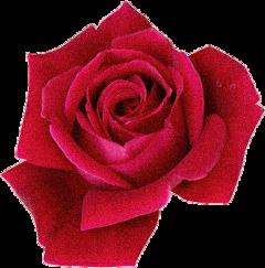 rose roses flower freetoedit