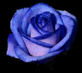 tumblr rose blue bluerose fteroses freetoedit