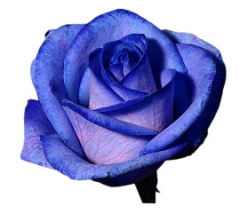 tumblr rose blue bluerose fteroses freetoedit