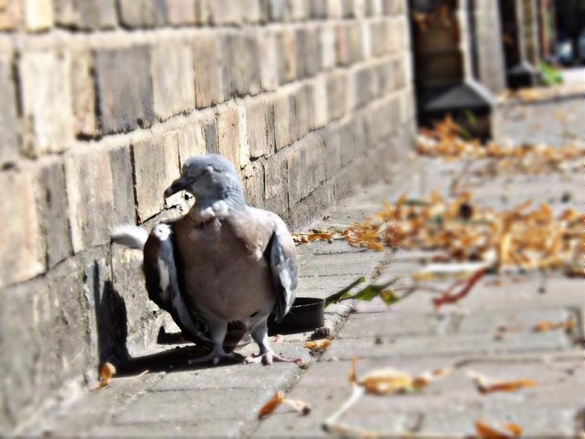 #citylife #pigeon