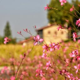 freetoedit flower nature summer