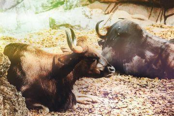 bull cow colorful dirt