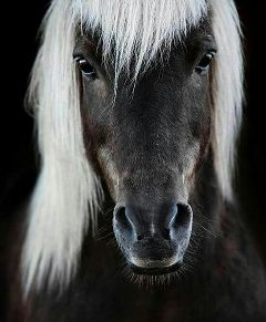 icelandichorse horse beautiful freetoedit