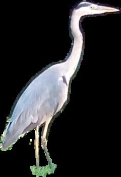 heron freetoedit