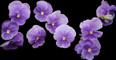 flowers purpleflower freetoedit