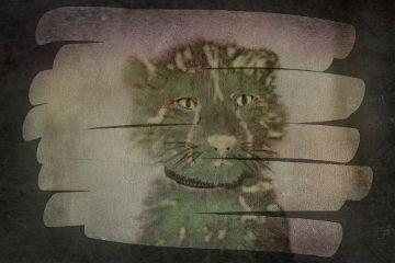 freetoedit baby cheetah cute bigcat